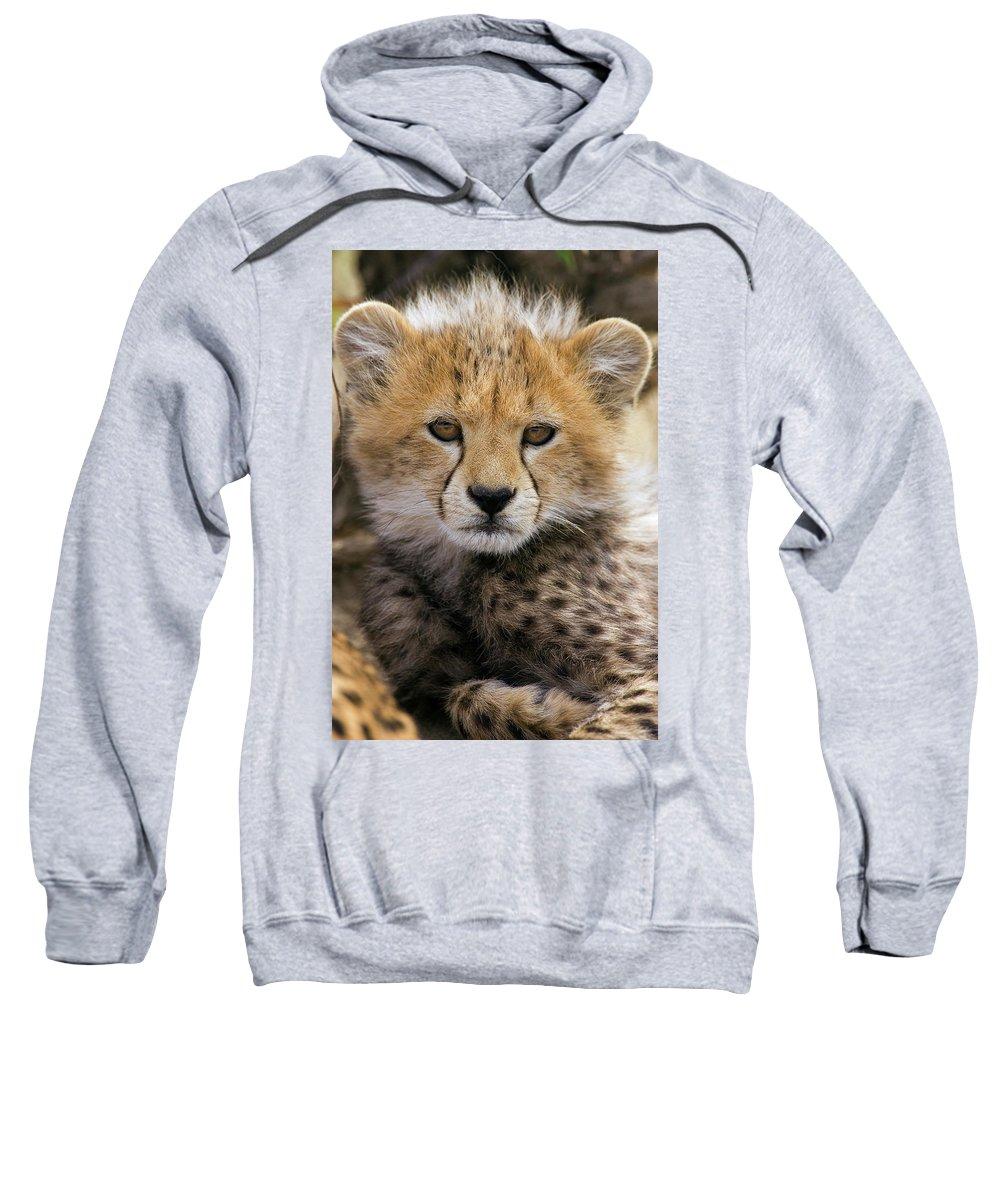 Mp Sweatshirt featuring the photograph Cheetah Acinonyx Jubatus Ten To Twelve by Suzi Eszterhas