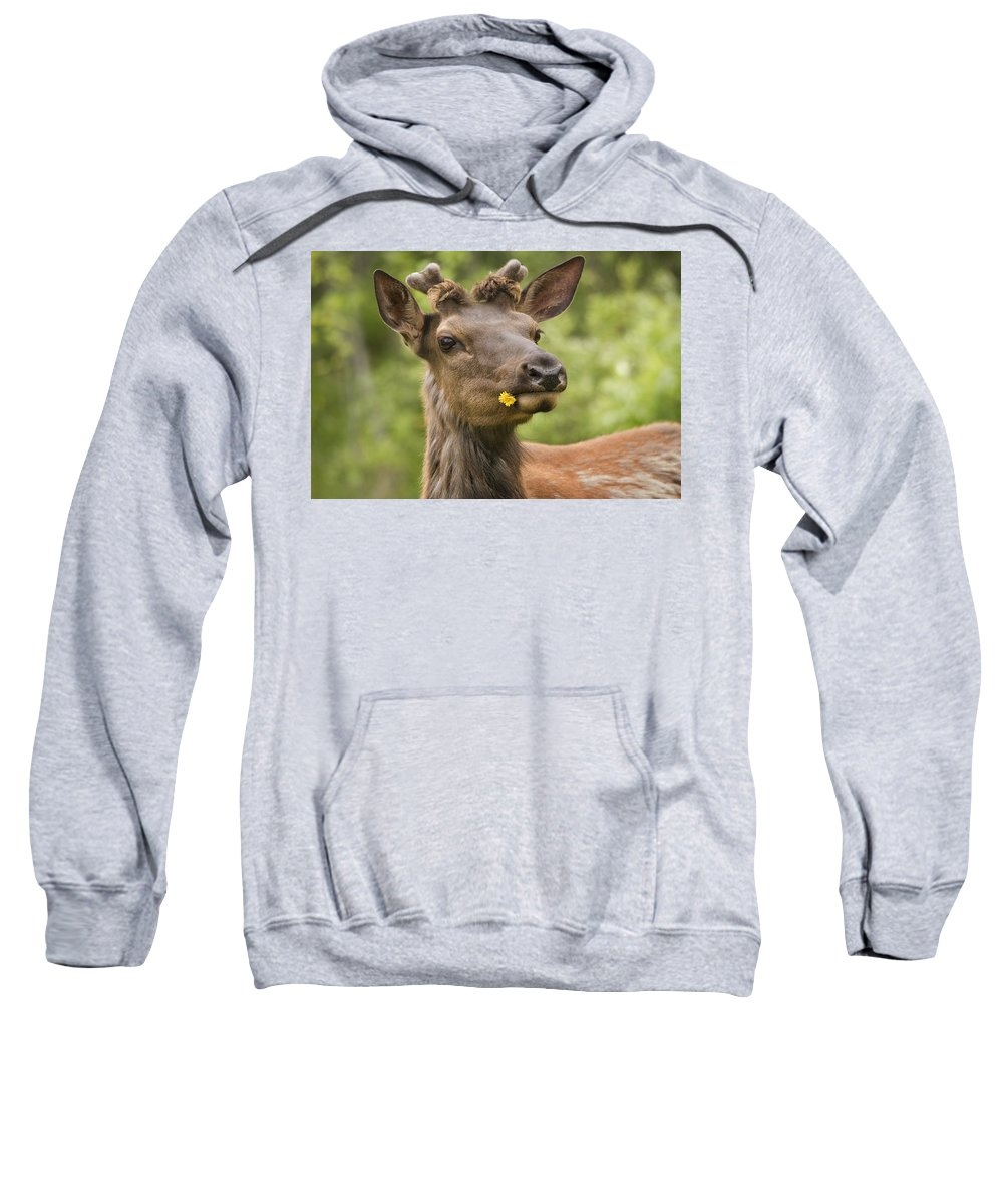 Big Animal Sweatshirt featuring the photograph Elk Cervus Canadensis With Dandelion In by Philippe Widling
