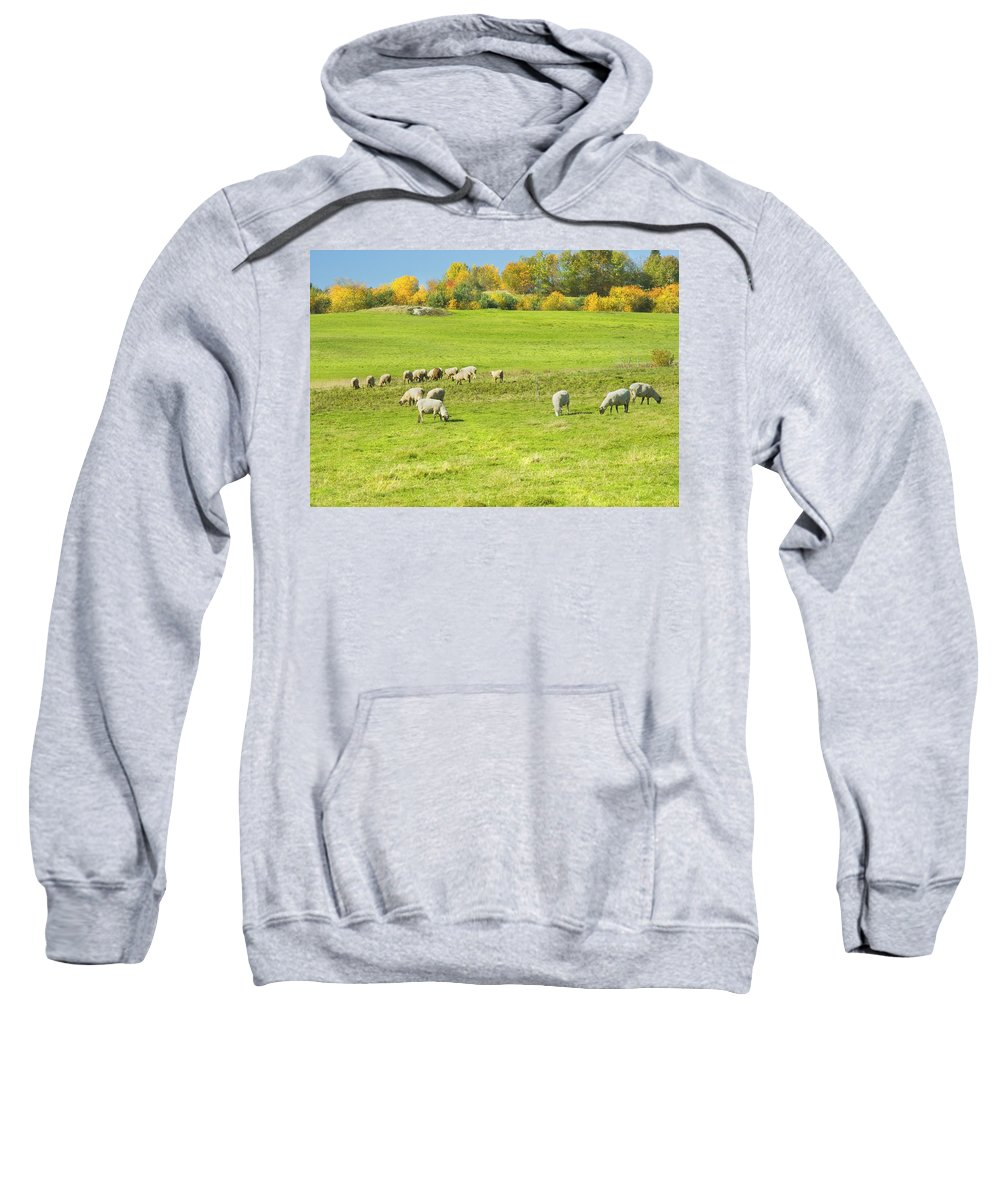 Sheep Sweatshirt featuring the photograph Grazing Sheep On Farm In Autumn Maine by Keith Webber Jr