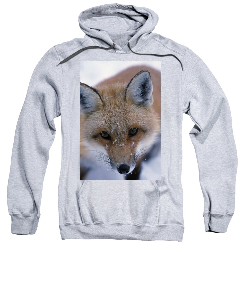 Animal Sweatshirt featuring the photograph Portrait Of Adult Red Fox by Natural Selection Bill Byrne