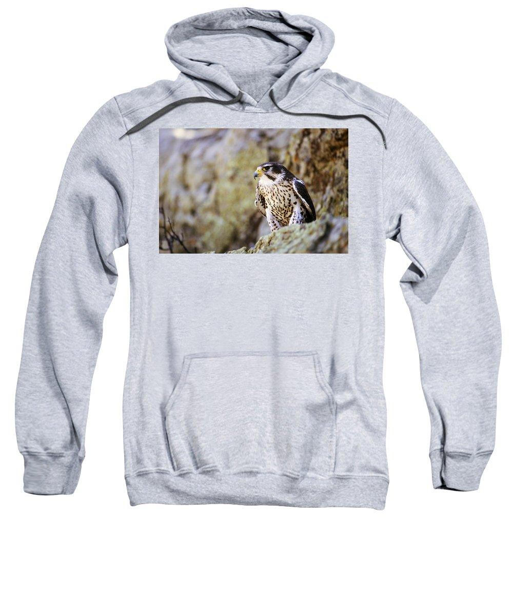 Animal Sweatshirt featuring the photograph Prairie Falcon On Rock Ledge by John Pitcher