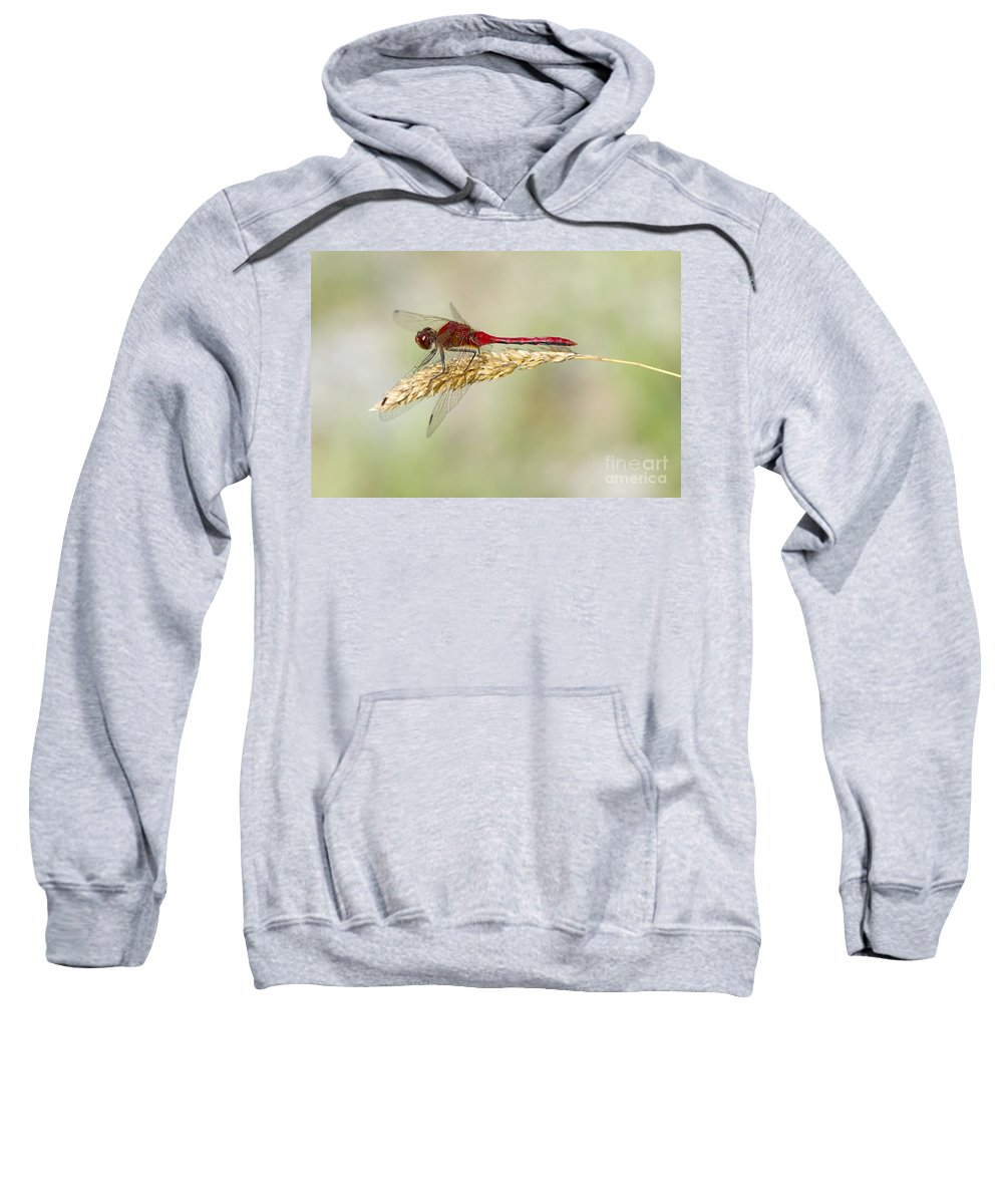 Red Dragonfly Sweatshirt featuring the photograph Red Dragonfly by Sharon Talson