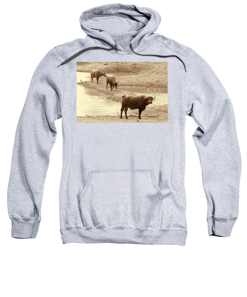 Herd Of Water Buffaloes Sweatshirt featuring the photograph The Herd by Douglas Barnard