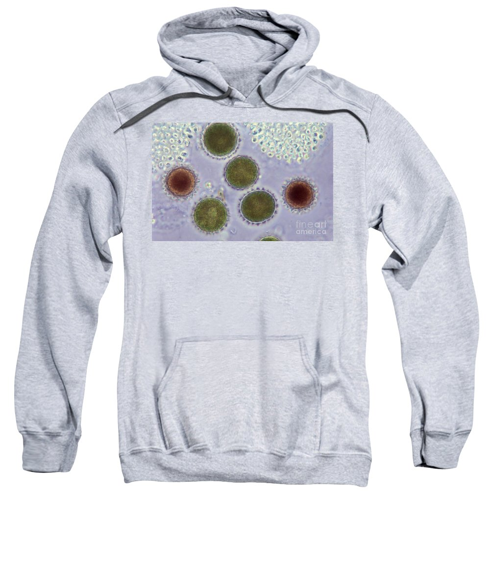 Science Sweatshirt featuring the photograph Volvox Globator Algae Lm by M I Walker