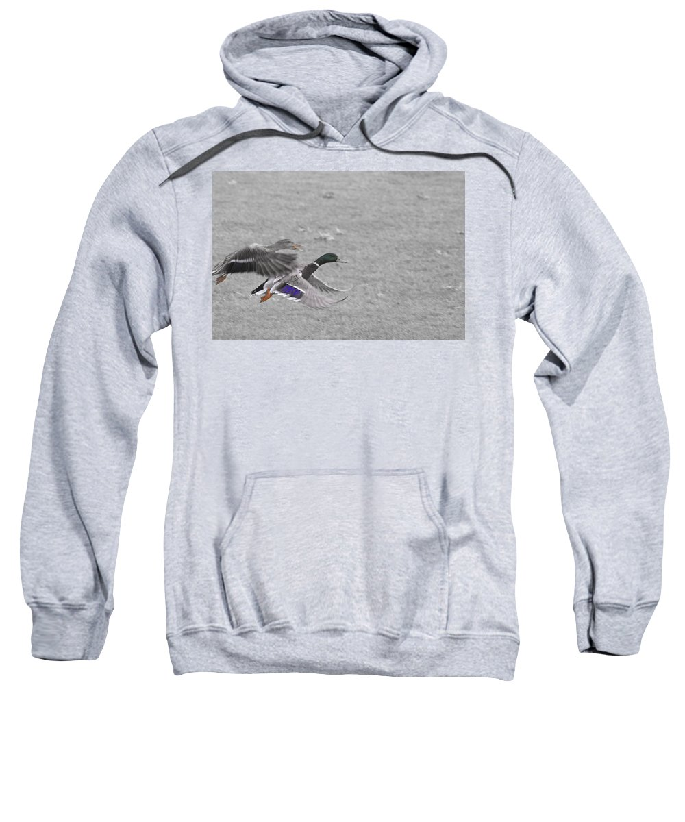 Ducks Flying Sweatshirt featuring the photograph With The Finishing Line In Sight by Douglas Barnard