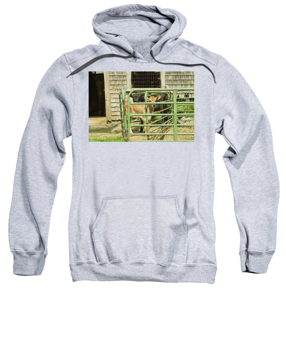 Cow Sweatshirt featuring the photograph Young Calf In Fence Pen Near Barn Summer Maine by Keith Webber Jr