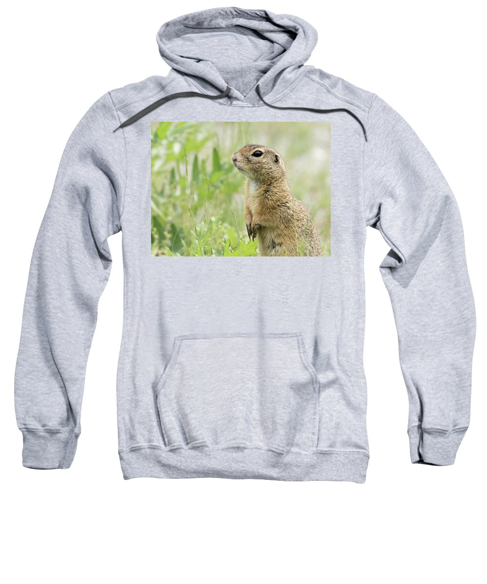 Small Sweatshirt featuring the photograph A European Ground Squirrel Standing In A Meadow In Spring by Stefan Rotter