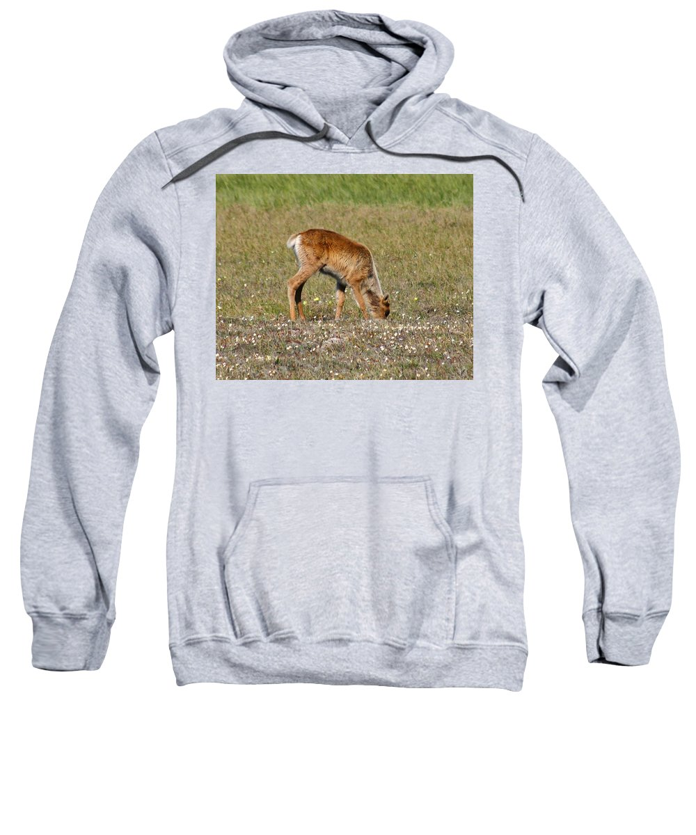 Deer Sweatshirt featuring the photograph Caribou Fawn by Anthony Jones
