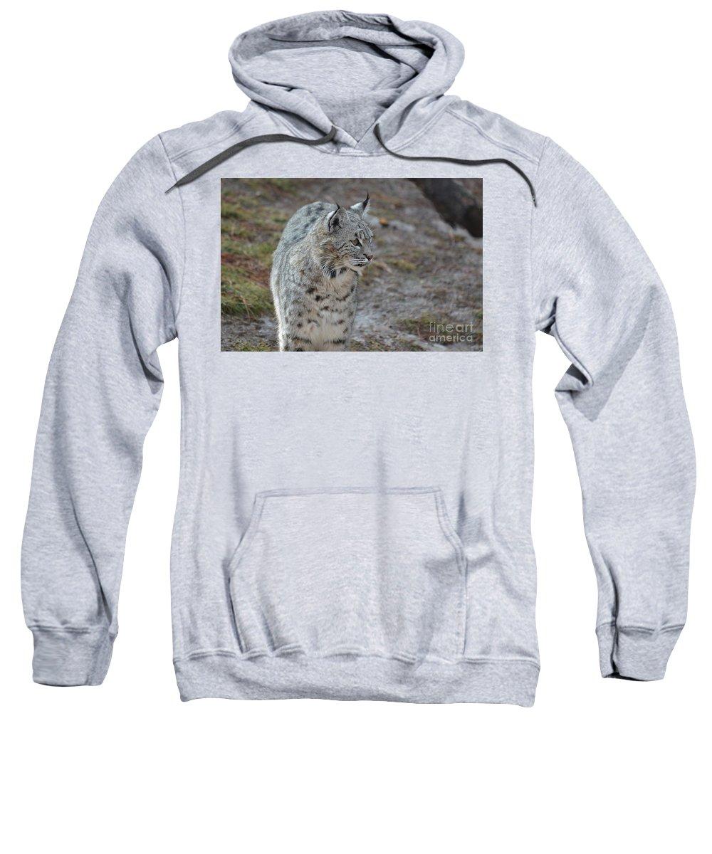 Bobcat Sweatshirt featuring the photograph Curious Wandering Bobcat by DejaVu Designs