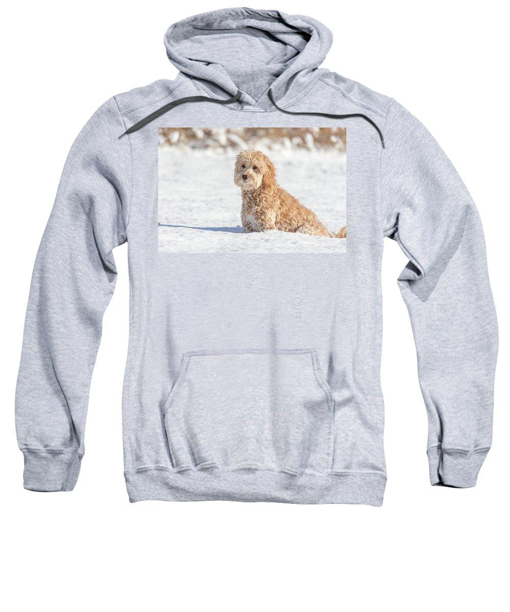 Dog Sweatshirt featuring the photograph Mini Golden Doodle by Marcello Sgarlato