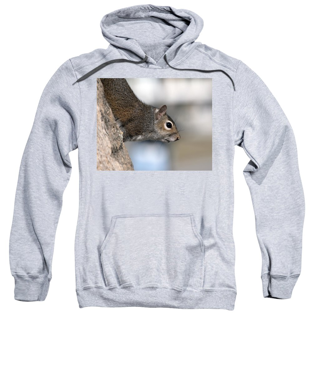 Squirrel Sweatshirt featuring the photograph Eastern Gray Squirrel by Allan Hughes