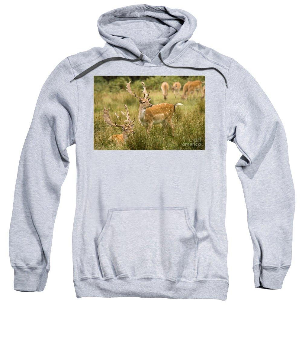 Fallow Deer Sweatshirt featuring the photograph Fallow Deer by Angel Ciesniarska