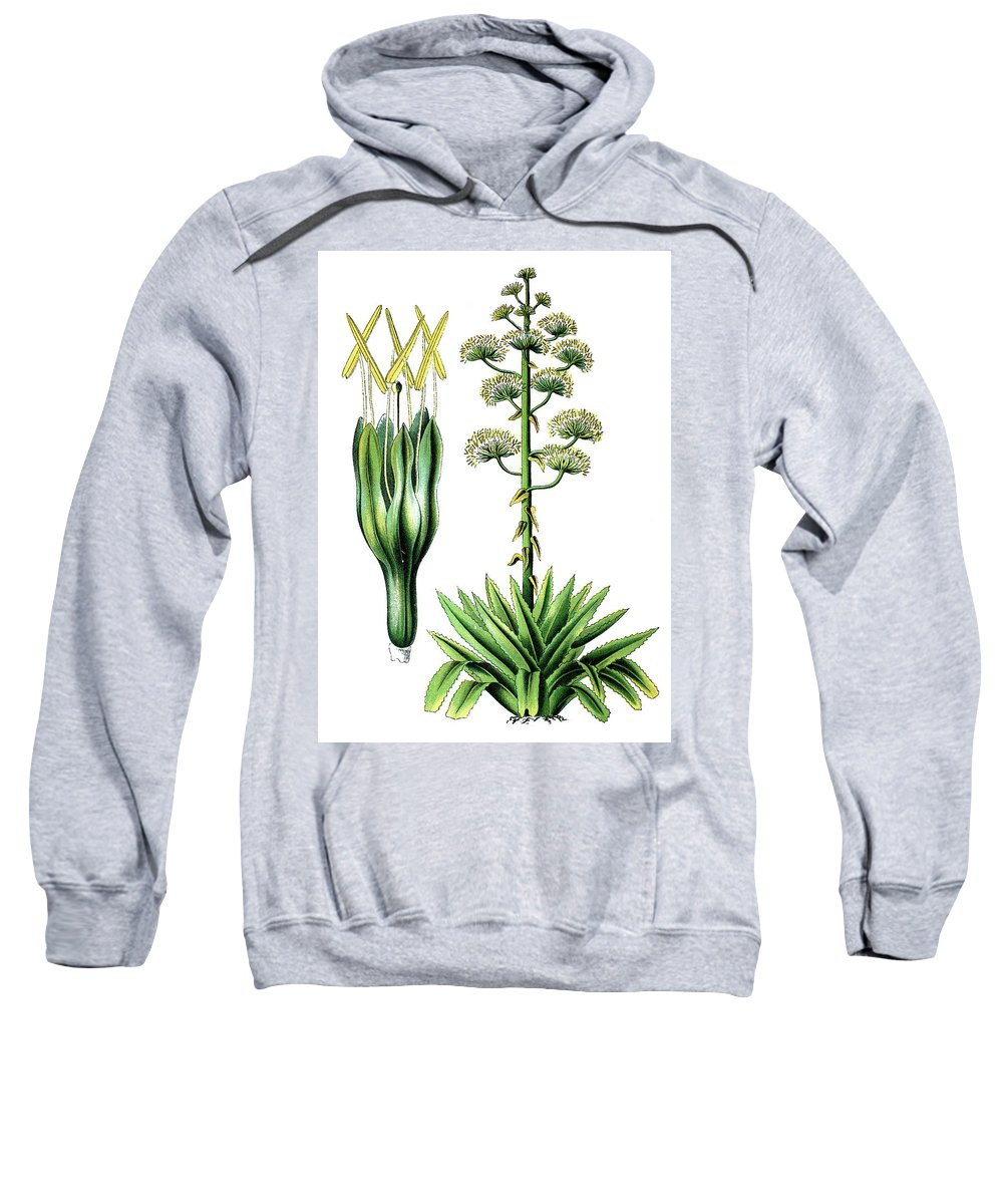 Agave Americana Sweatshirt featuring the drawing Agave Americana, Common Names Century Plant, Maguey Or American by Bildagentur-online