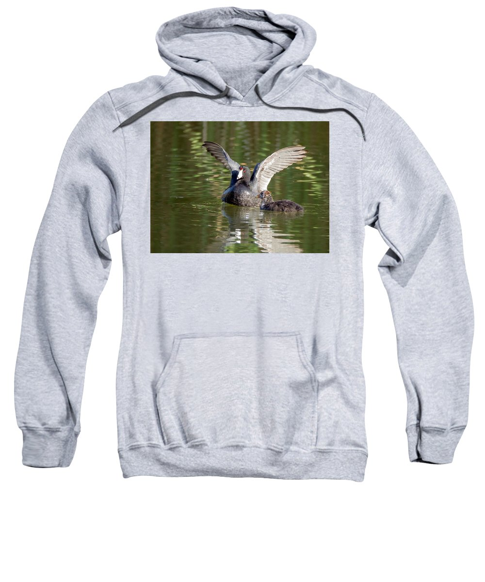Coots Sweatshirt featuring the photograph American Coot Adult And Juvenile by Tam Ryan