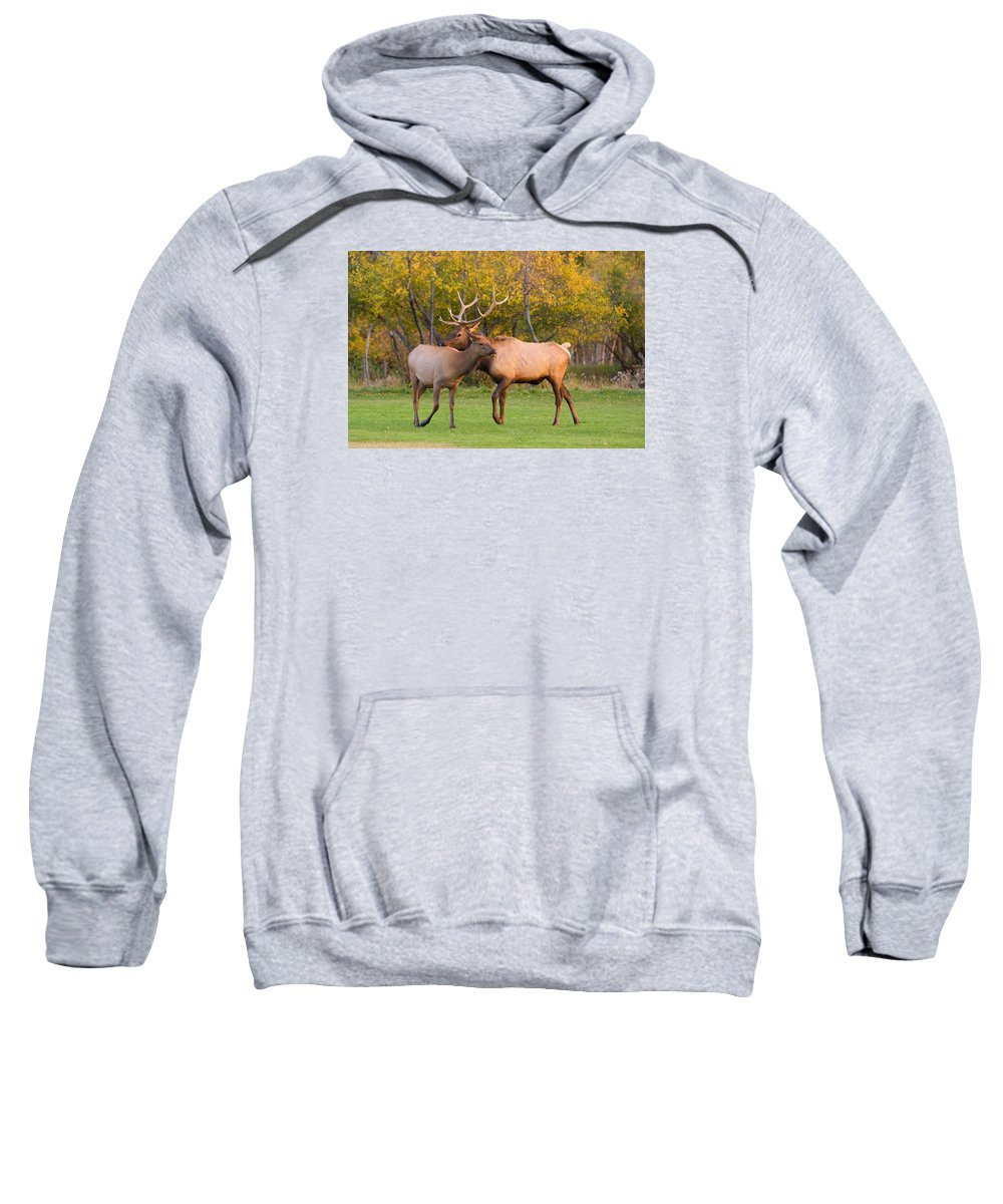 Autumn Sweatshirt featuring the photograph Bull And Cow Elk - Rutting Season by James BO Insogna