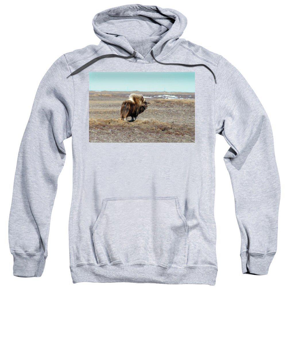 Bull Sweatshirt featuring the photograph Bull Musk Ox by Anthony Jones