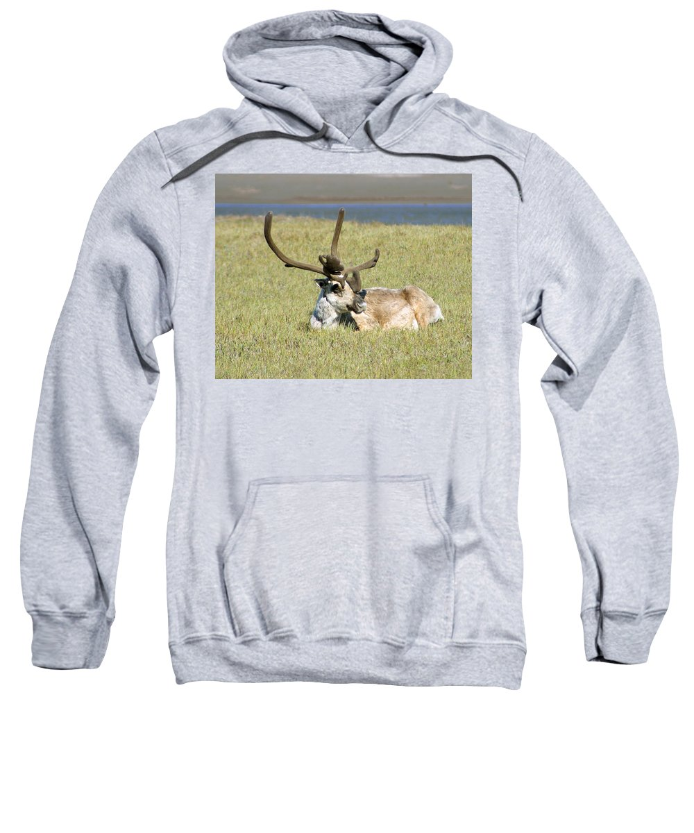 Caribou Sweatshirt featuring the photograph Caribou Rest by Anthony Jones