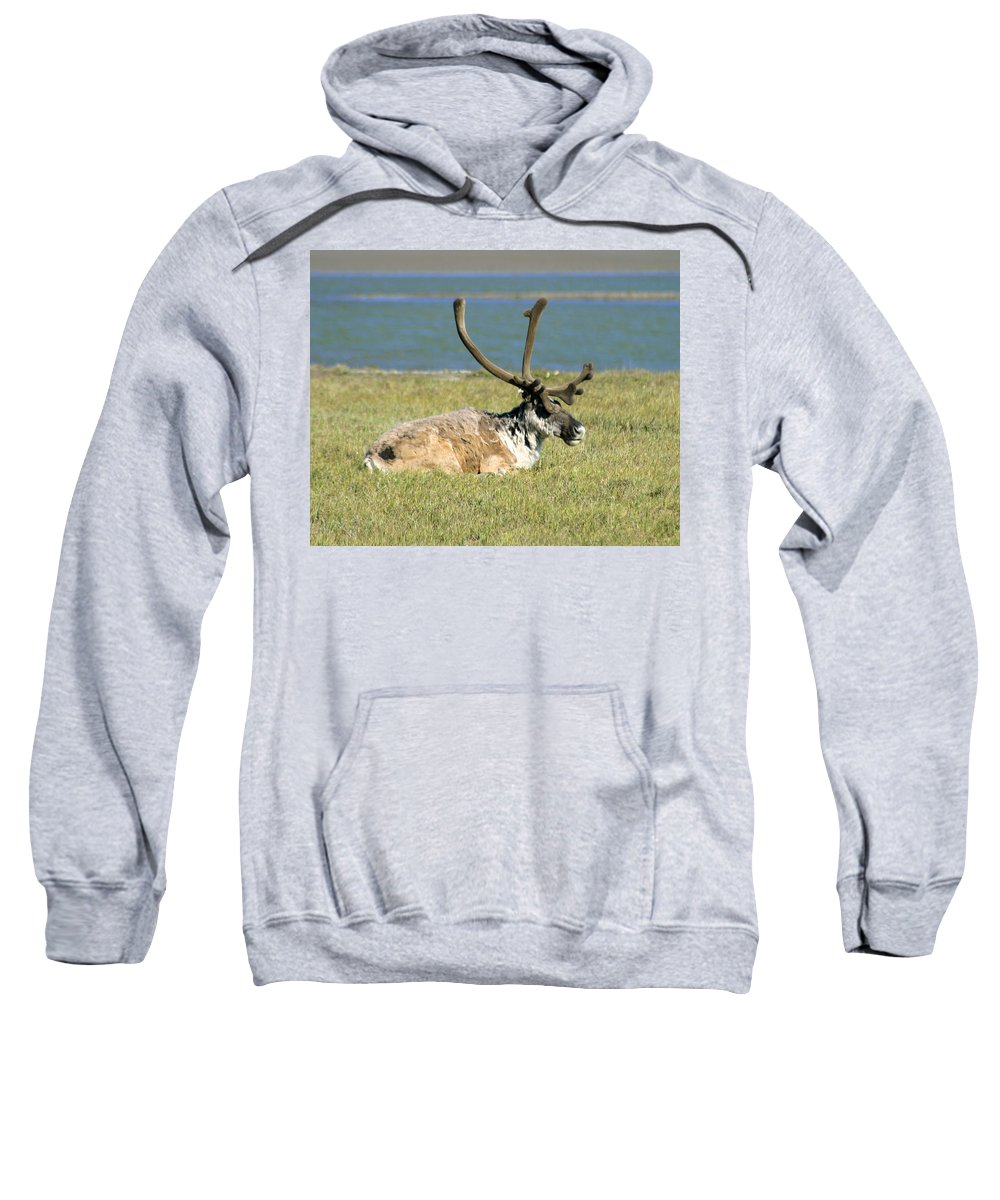 Caribou Sweatshirt featuring the photograph Caribou Resting by Anthony Jones