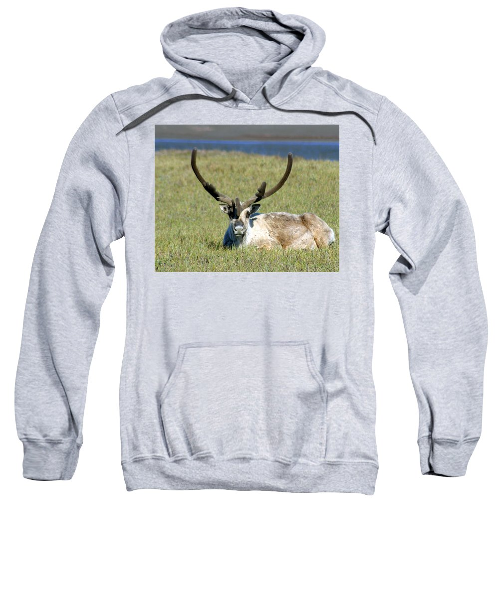 Caribou Sweatshirt featuring the photograph Caribou Resting In Tundra Grass by Anthony Jones