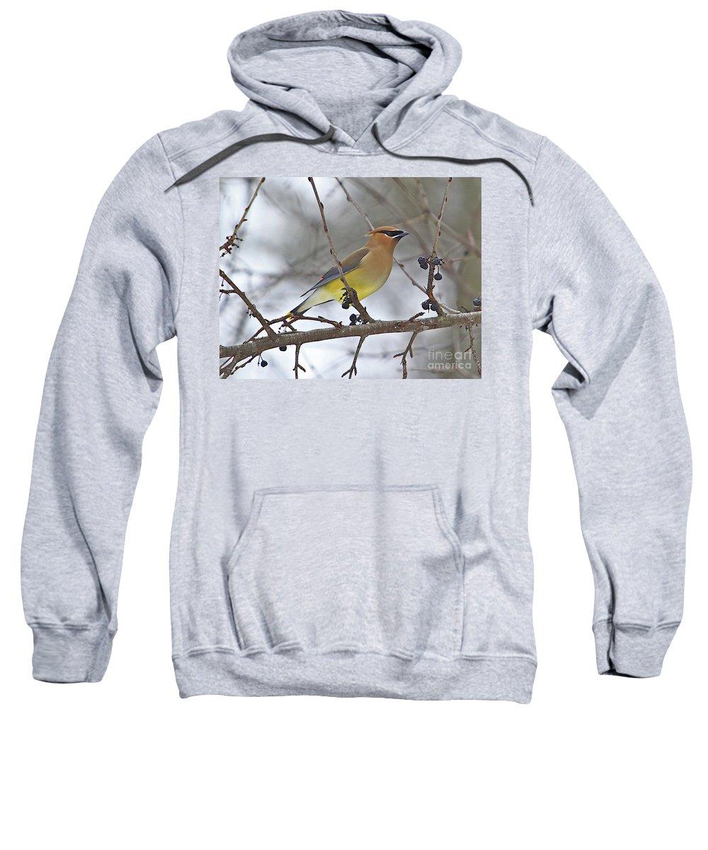 Cedar Wax Wing Sweatshirt featuring the photograph Cedar Wax Wing-2 by Robert Pearson