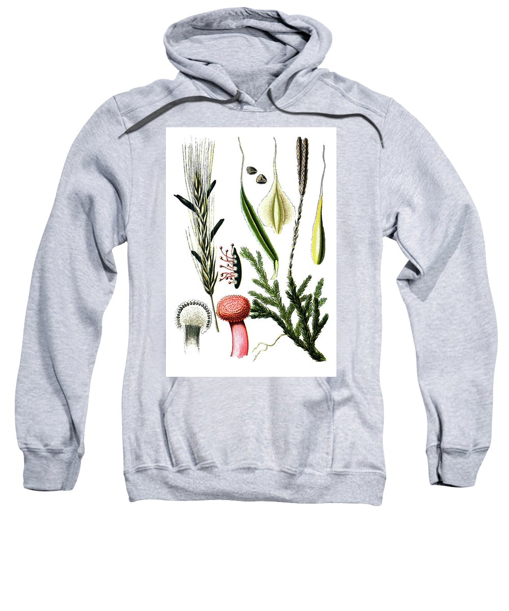 Left: Claviceps Purpures. Rechtes: Wolf's-foot Clubmoss Sweatshirt featuring the drawing Claviceps Purpures. Recht Wolf's-foot Clubmoss, Stag's- by Bildagentur-online