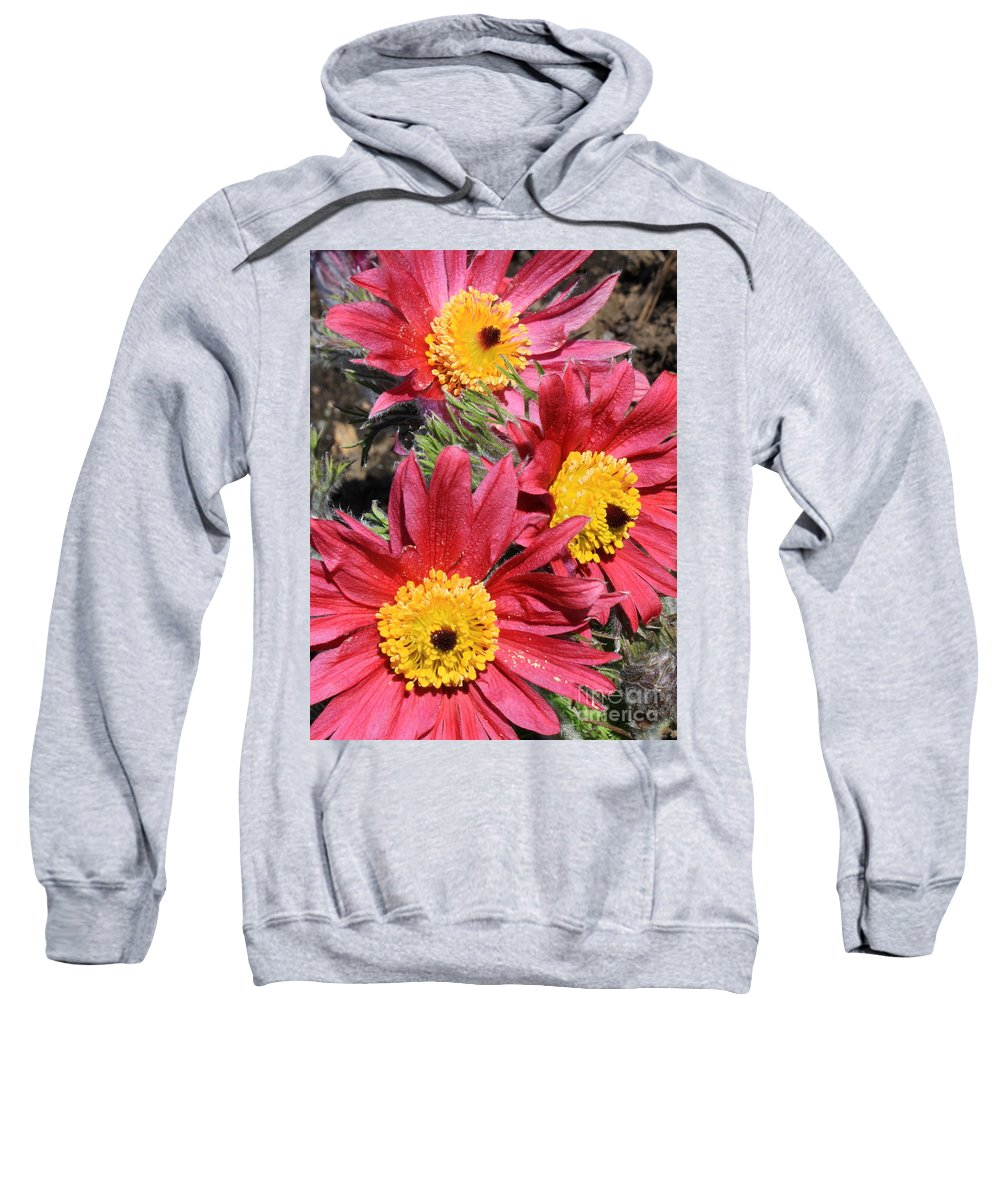 Pasque Flowers Sweatshirt featuring the photograph Colorful Pasque Flowers by Carol Groenen