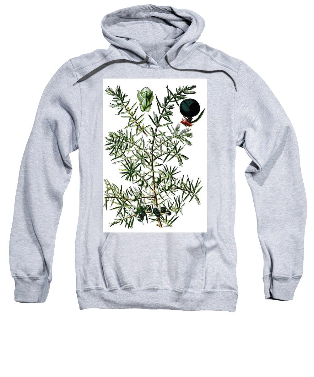 Common Juniper Sweatshirt featuring the drawing common juniper, Juniperus communis by Bildagentur-online