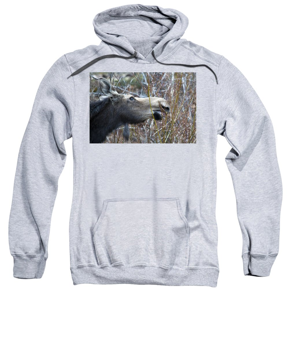 Moose Sweatshirt featuring the photograph Cow Moose Dining On Willow by Gary Beeler