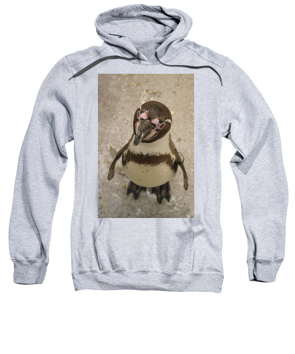 Penguin Sweatshirt featuring the photograph Curious Penguin by Ian Middleton