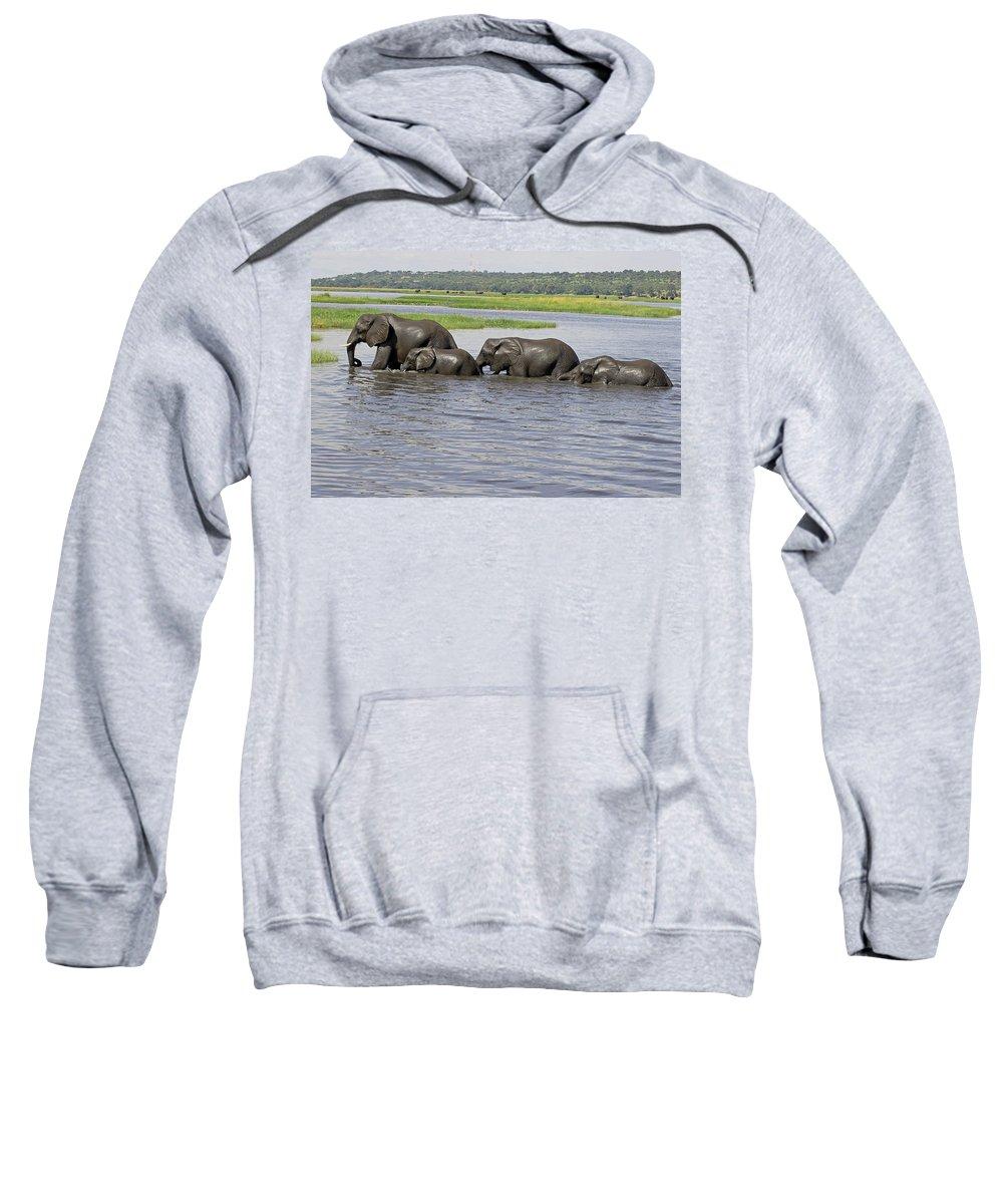 Elephants Crossing River Sweatshirt featuring the photograph Elephants Crossing Chobe River by Tony Murtagh