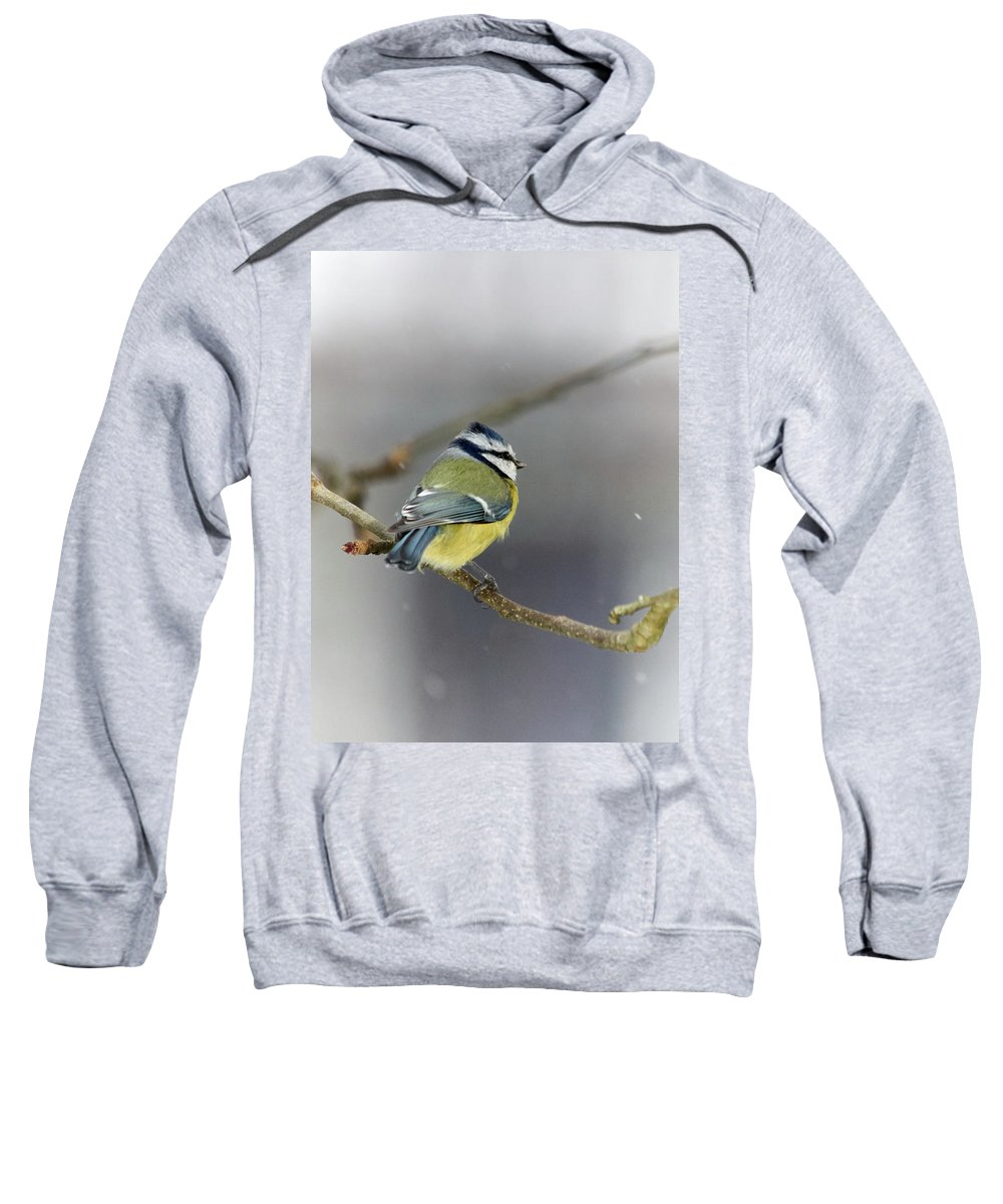 Cyanistes Caeruleus Sweatshirt featuring the photograph Eurasian Blue Tit With Snow by Jouko Lehto