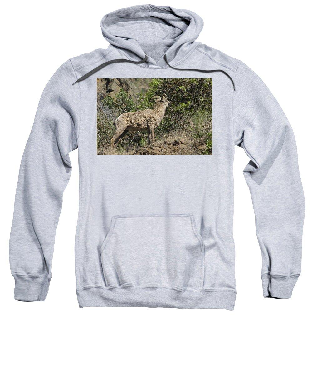 Ewe Sweatshirt featuring the photograph Ewe 1 by Sara Stevenson