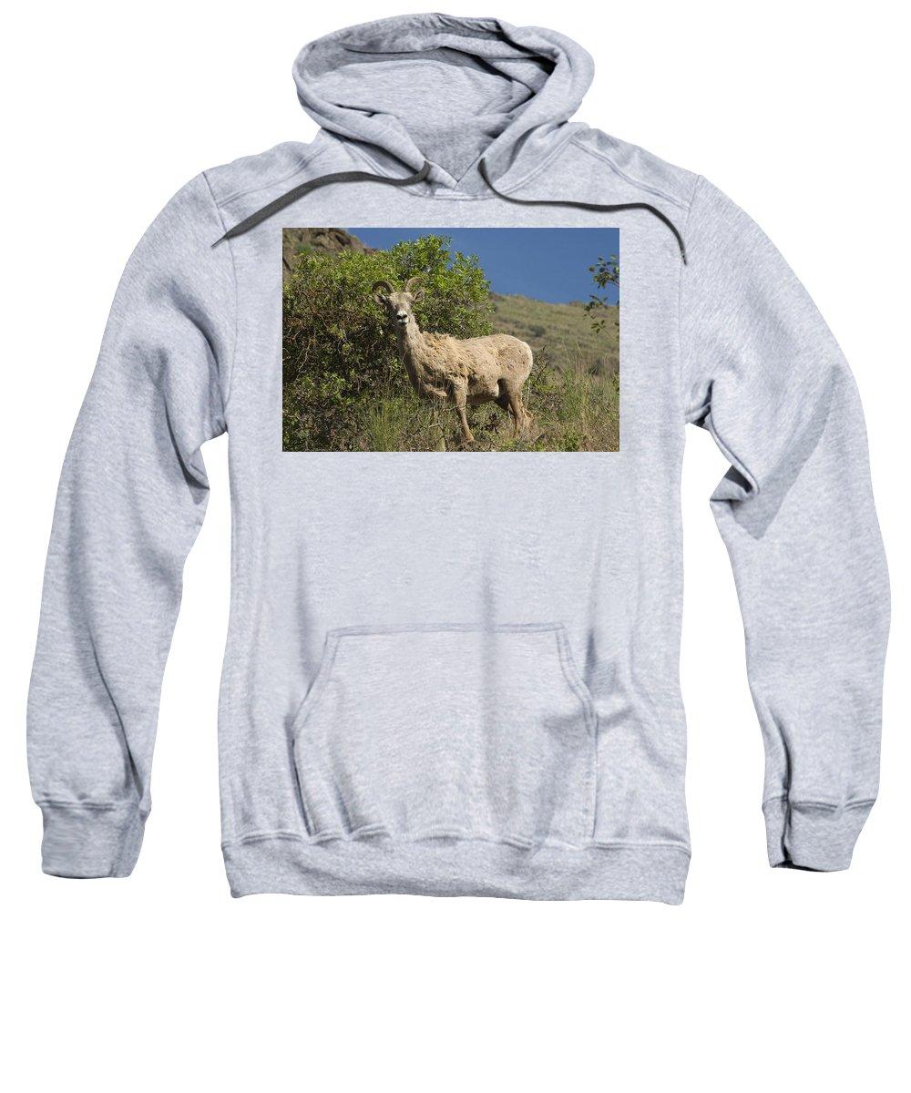 Sheep Sweatshirt featuring the photograph Ewe 3 by Sara Stevenson