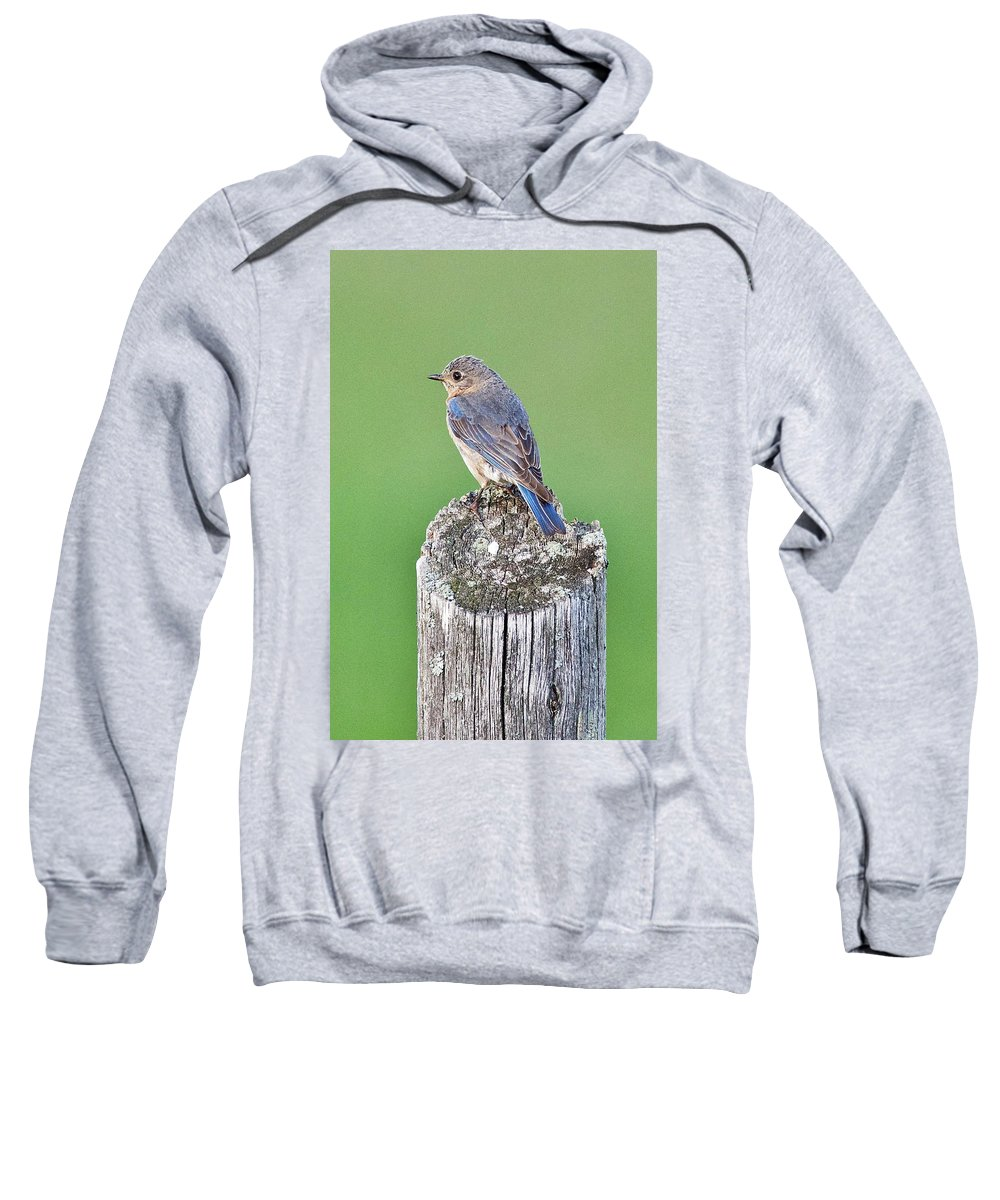 Avian Sweatshirt featuring the photograph Female Eastern Bluebird 4479 by Michael Peychich