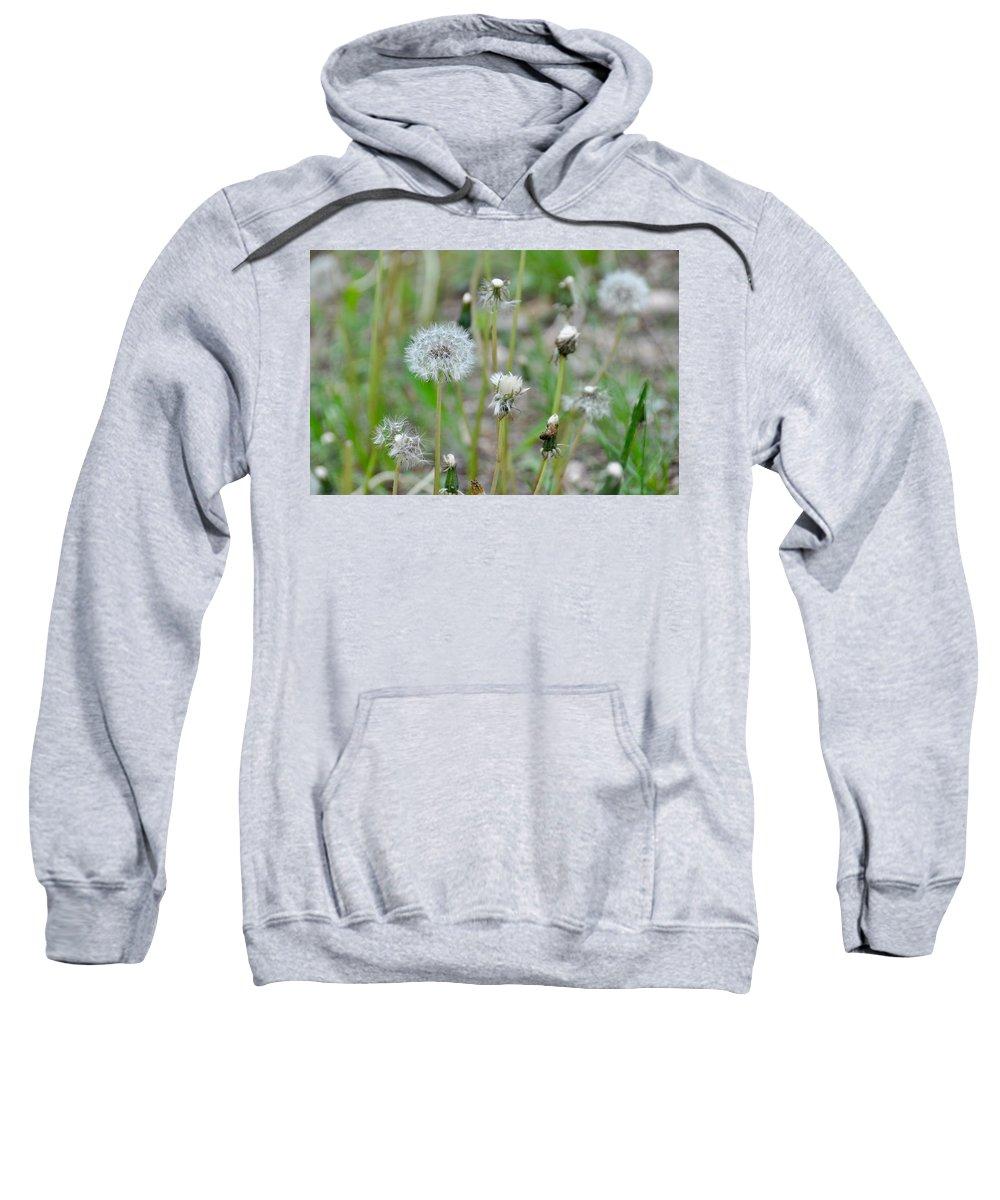 Dandelion Sweatshirt featuring the photograph Dandelions In Seed by Csilla Florida