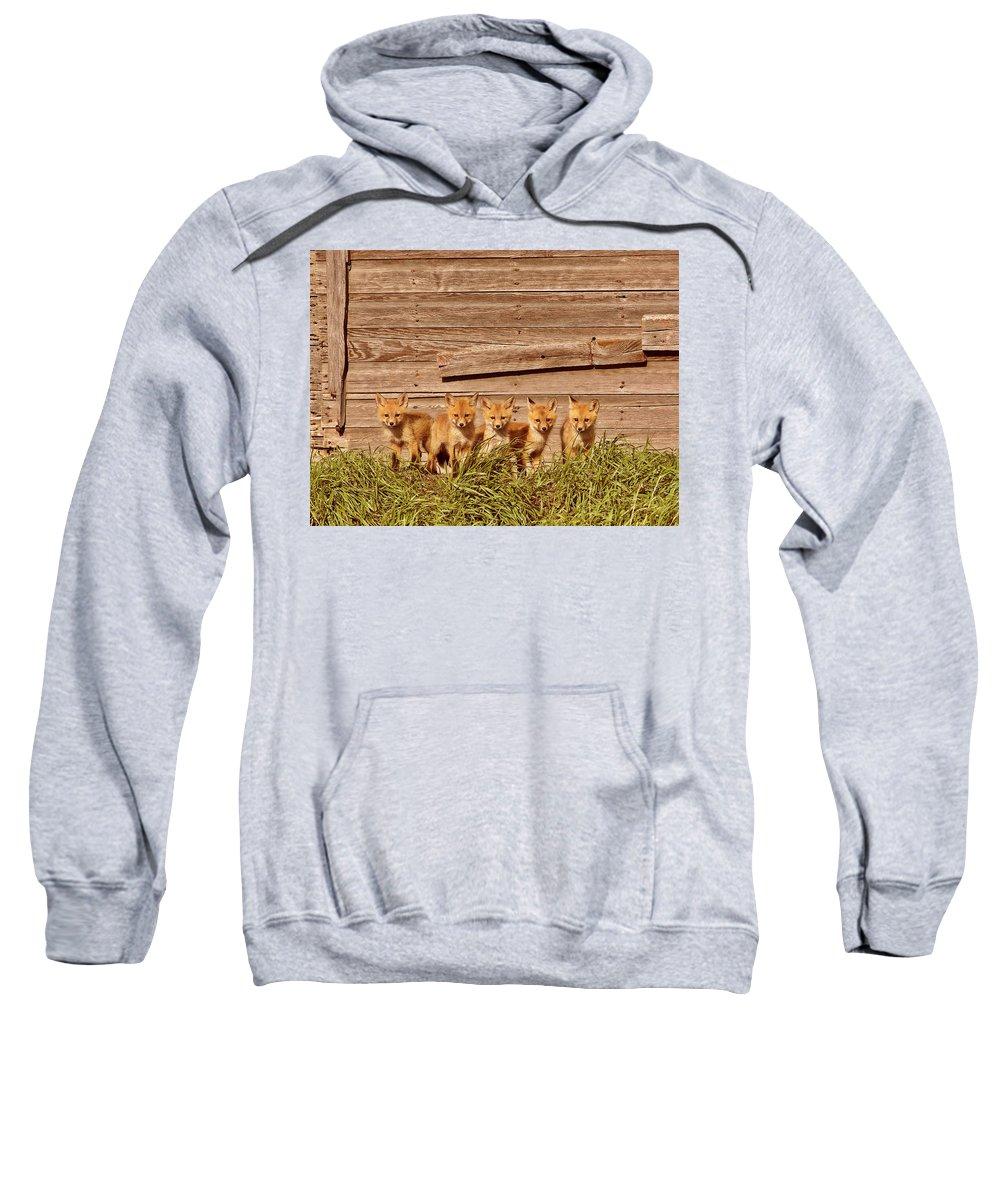 Red Fox Sweatshirt featuring the digital art Five Fox Kits By Old Saskatchewan Granary by Mark Duffy