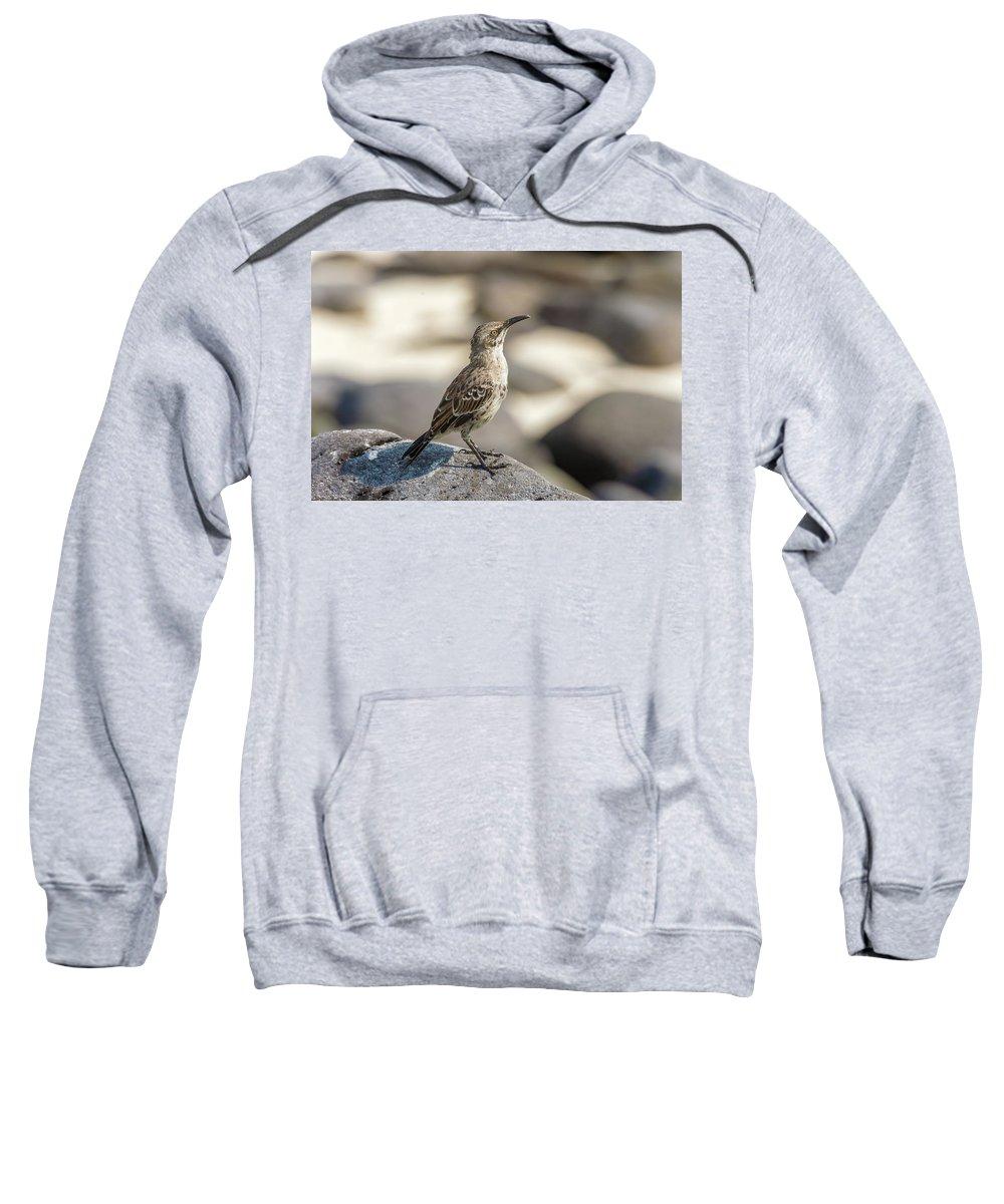Espanola Sweatshirt featuring the photograph Galapagos Hood Mockingbirds by Marek Poplawski