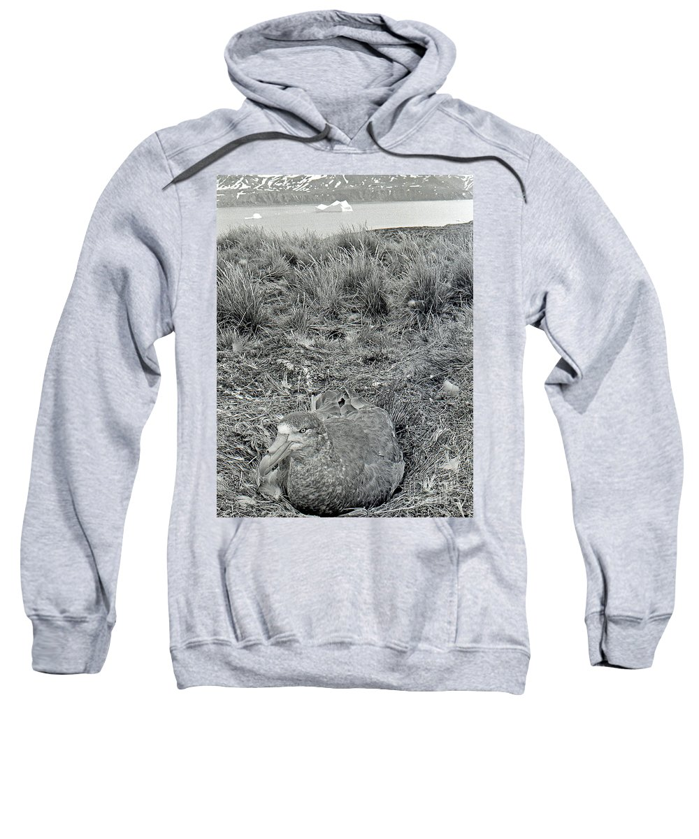 Sea Bird Sweatshirt featuring the photograph Giant Petrel Nesting In South Georgia by Wilf Doyle
