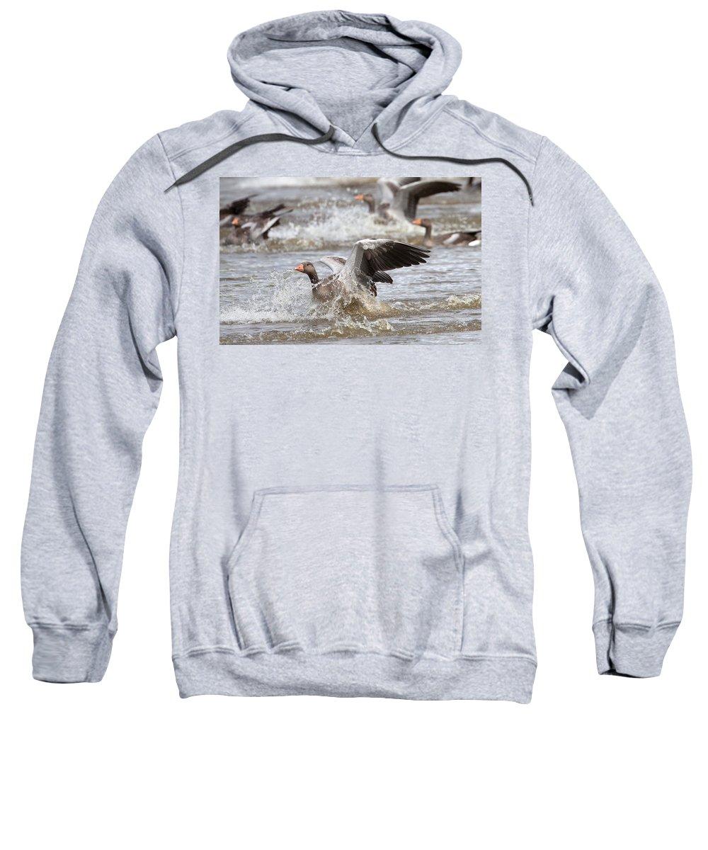 Greylag Sweatshirt featuring the photograph Greylag Goose Landing by Bob Kemp