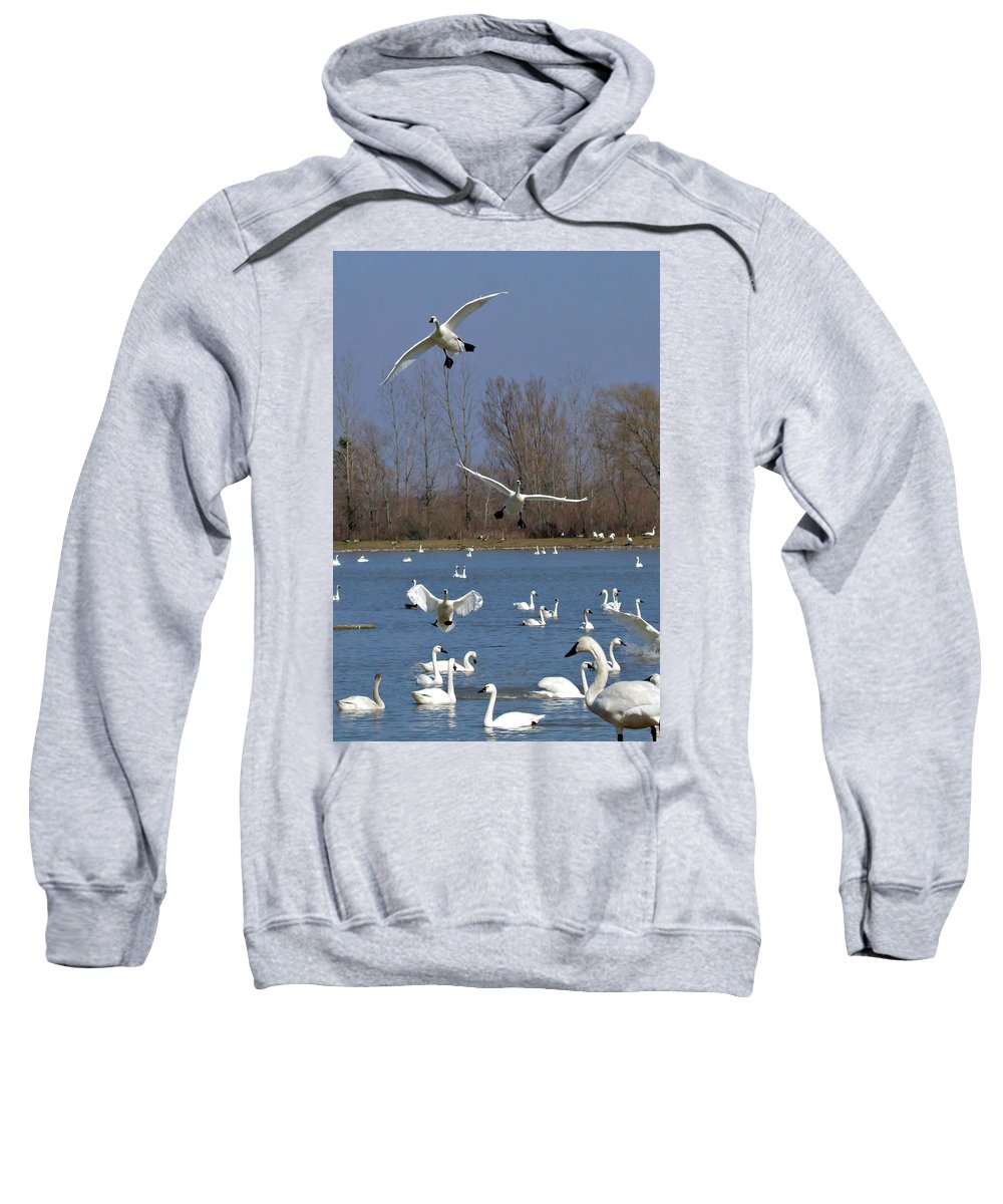 Tundra Swans Sweatshirt featuring the photograph Here Come The Swans by Bill Lindsay