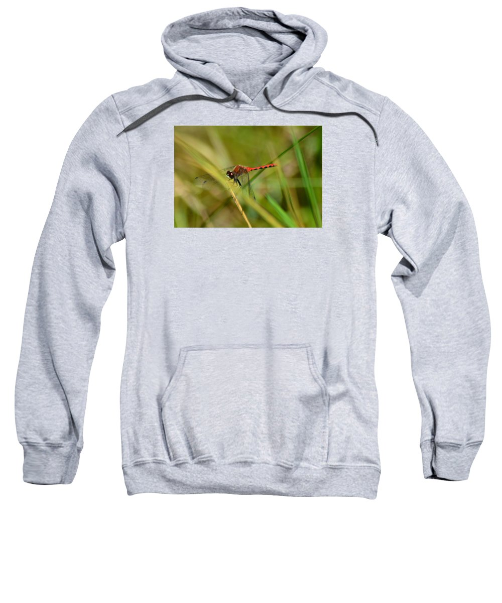 Hudsonian Whiteface Dragongfy Sweatshirt featuring the pyrography Hudsonian Whiteface Dragonfly by Sally Sperry