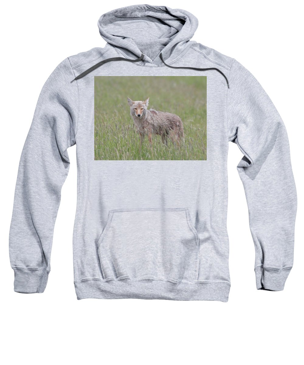 Lamar Valley Coyote Sweatshirt featuring the photograph Lamar Valley Coyote by Dan Sproul