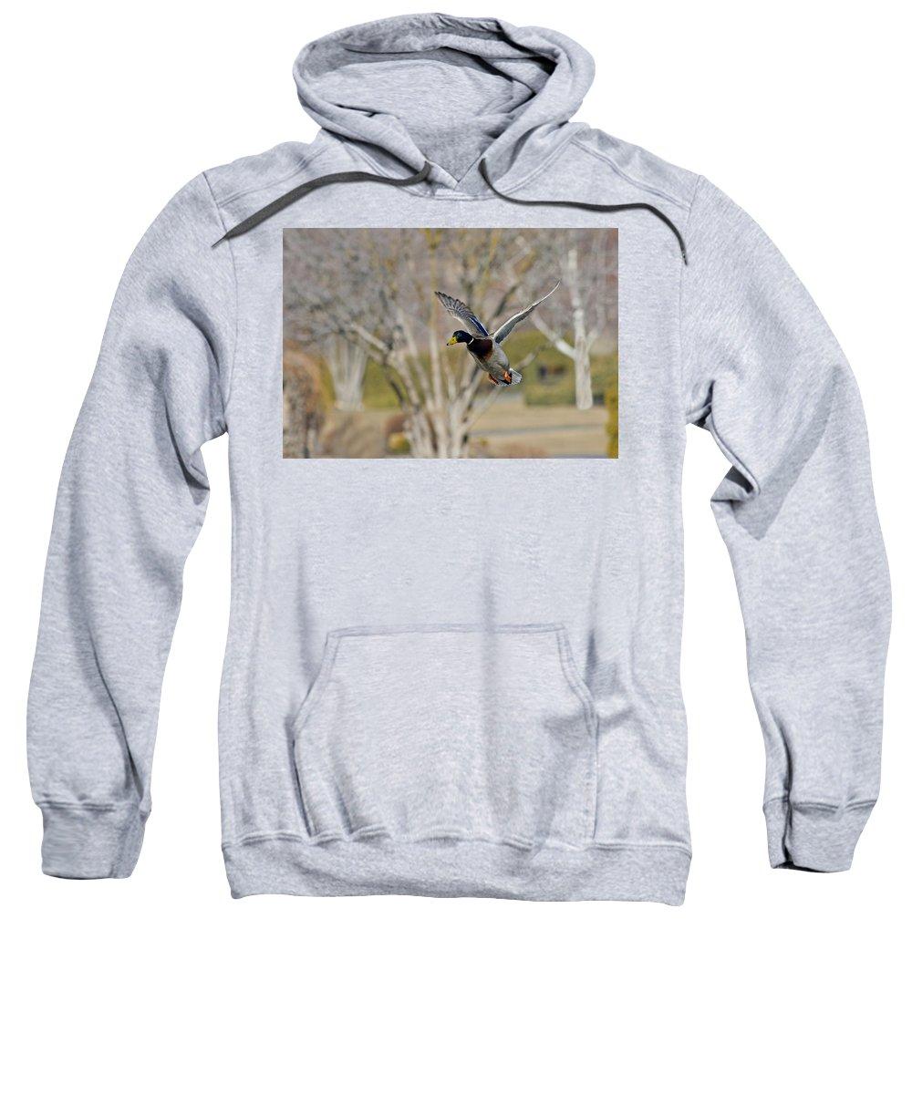 Mallard Duck Sweatshirt featuring the photograph Mallard Approach by Mike Dawson