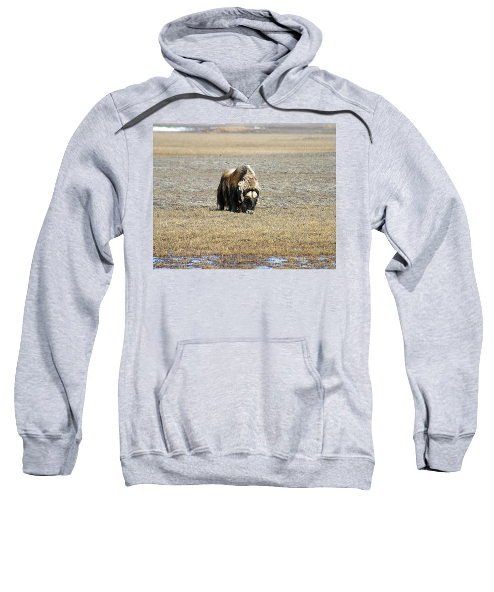 Musk Ox Sweatshirt featuring the photograph Musk Ox Grazing by Anthony Jones