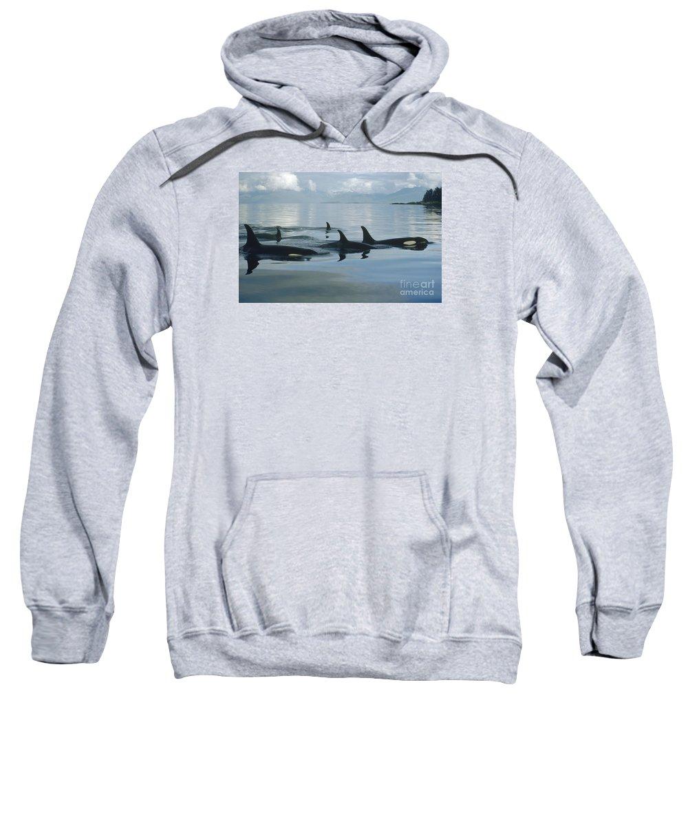 00079478 Sweatshirt featuring the photograph Orca Pod Johnstone Strait Canada by Flip Nicklin