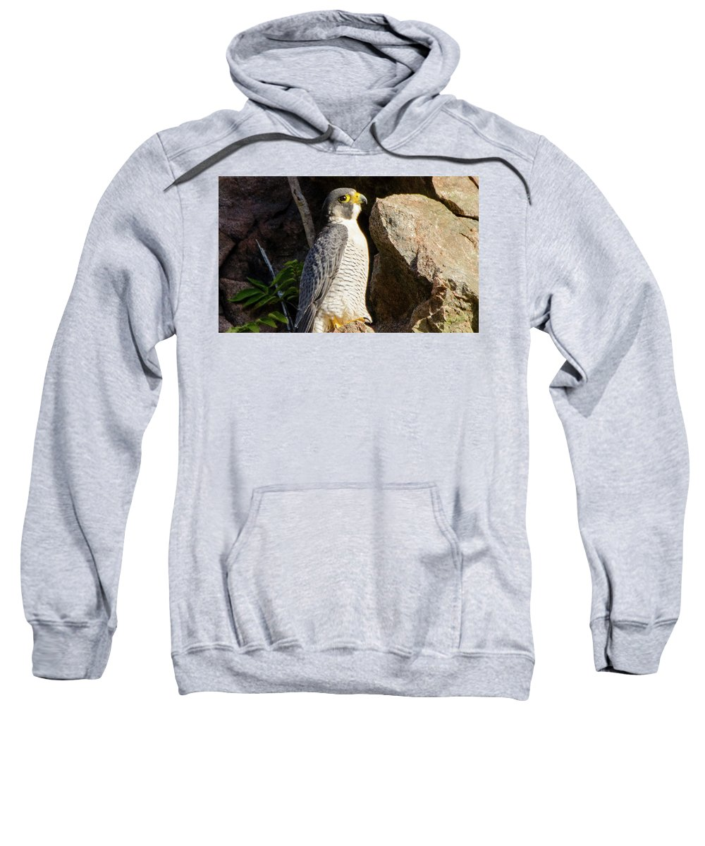 Peregrine Sweatshirt featuring the photograph Peregrine Falcon by Judd Nathan