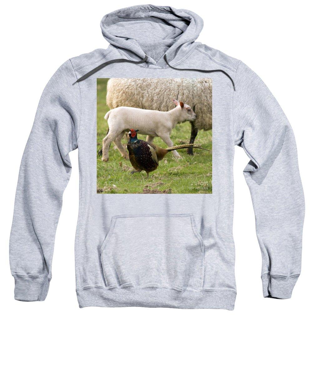 Lamb Sweatshirt featuring the photograph Pheasant And Lamb by Angel Ciesniarska