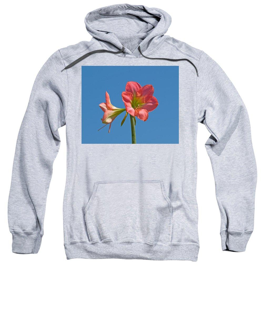 Hippeastrum; Amaryllidaceae; Belladonna; Lily; Amaryllis; Flower; Flowering; Plant; Bulb; Pot; Garde Sweatshirt featuring the photograph Pink Amaryllis Flowering In Spring by Allan Hughes