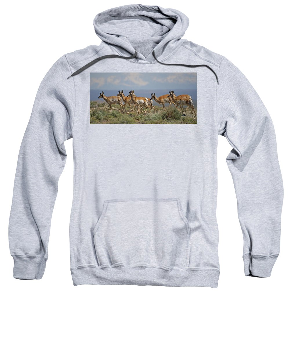 Pronghorn Sweatshirt featuring the photograph Pronghorn Antelope Running by Heather Coen