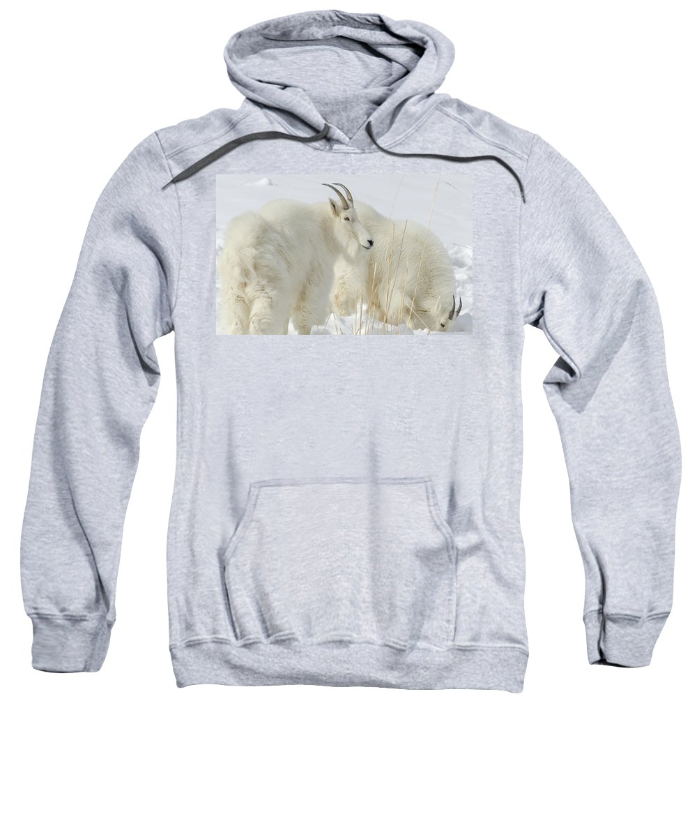 Mountain Goats Sweatshirt featuring the photograph Rocky Mountain Goats In Wyoming Winter by Yeates Photography